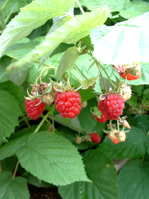 05-07-24rasberry2-400