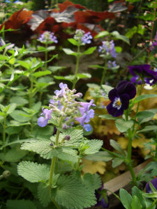 070519catmint