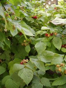 070613rasberry1