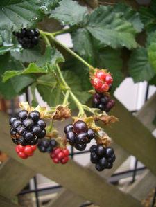 070710blackberry1