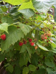 070710rasberry3