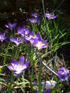 080322crocusblue1