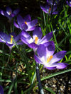 080322crocusblue4